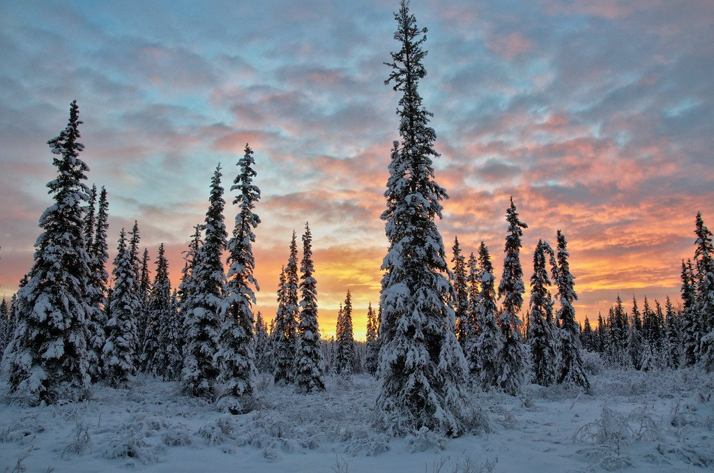 Snow-clad spruce trees at sunrise. Sunrises have to be one of my favorite things about Fairbanks, next to the aurora, and the mountain range to our south. Our sparse boreal forests give nice open views of the sky too. I love seeing those subtle arctic blues behind the brilliant colors. Almost every morning in the winter is wonderful!