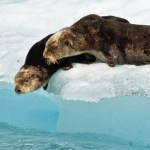Otters preparing to jump off an iceberg in Columbia Bay