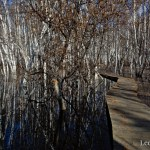 Birch reflections in the seasonal wetlands at Creamer's Field in Fairbanks, Alaska.