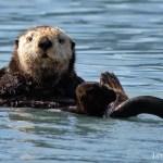 Sea Otter floating in Port Valdez, Alaska