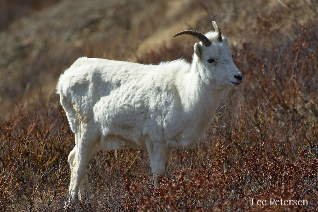 Dall sheep between Polychrome Pass and East Fork in Denali National Park