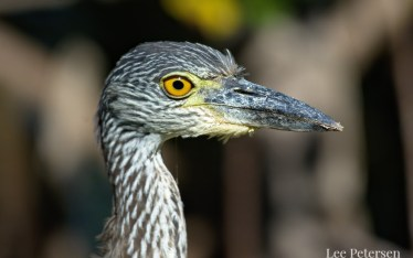 Juvenile yellow-crowned night heron at Pelican Island National Wildlife Refuge
