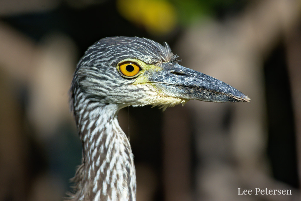 Juvenile yellow-crowned night heron at Pelican Island National Wildlife Refuge