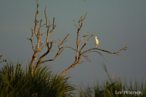 Great Egret in a tree