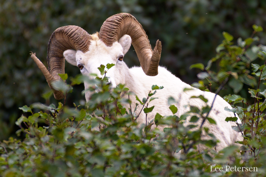 Dall Ram in Denali National Park
