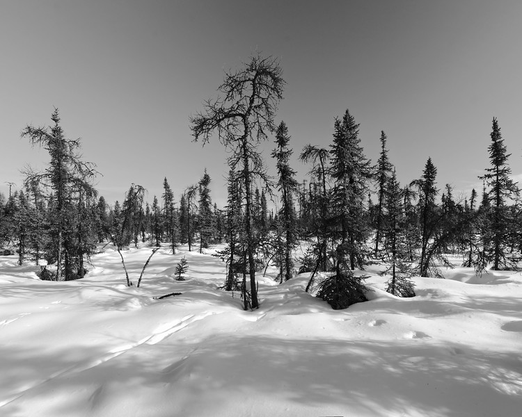 We took a walk today to enjoy the cooler weather - Saturday, March 15, 2014. Some moose and raven tracks in the snow in the sparse taiga landscape.Taken at the Chena Lake Recreation Area - North Pole, Alaska