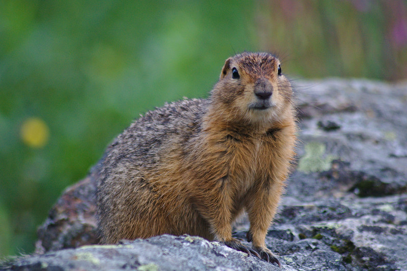 Arctic Ground Squirrel near the Savage River