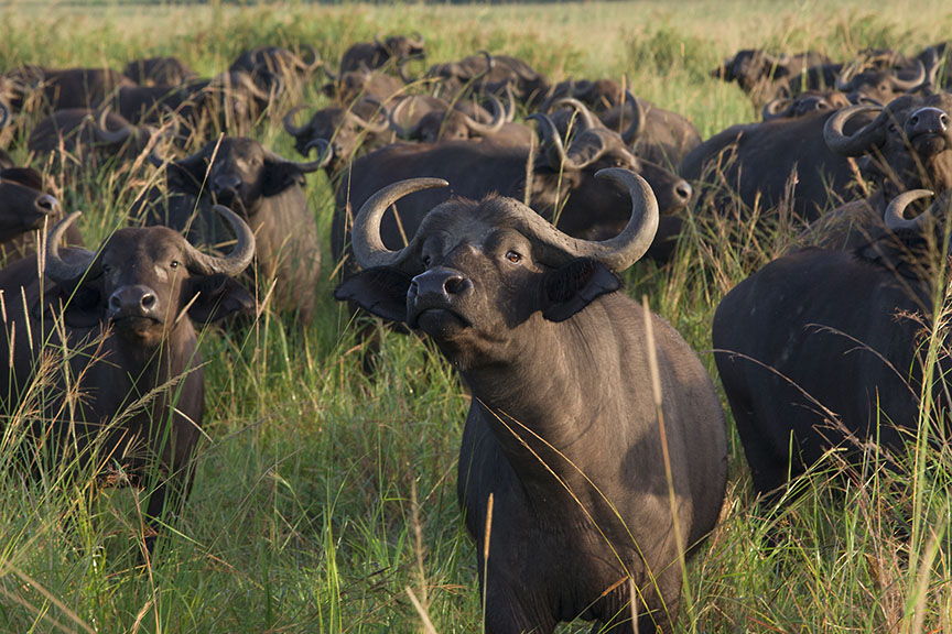 Cape Buffalo in Kidepo Valley National Park, Uganda, East Africa