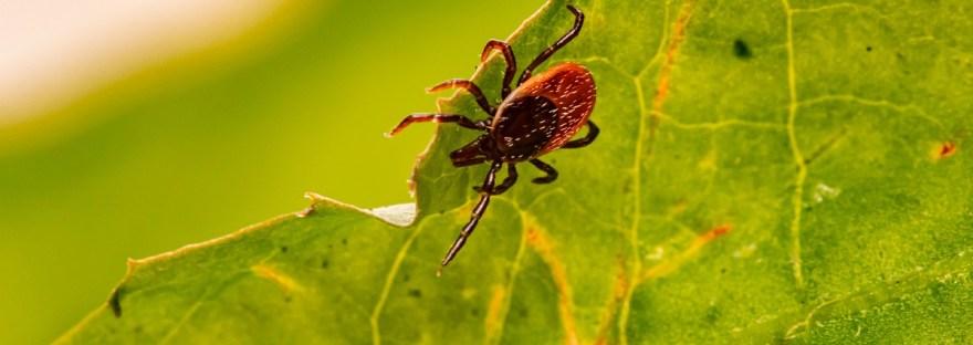 Infectolab - tick on plant