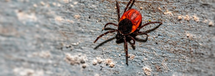 red and black tick on piece of wood