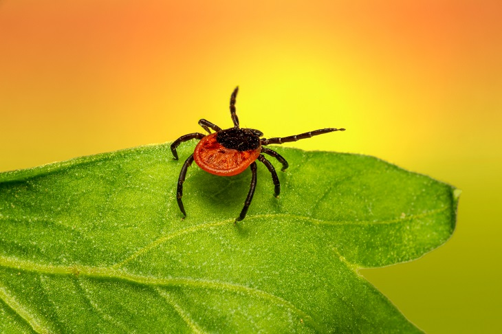 black and red tick on green leaf