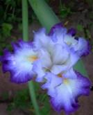 Mom's Irises