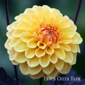 Midnight Sun Dahlia
