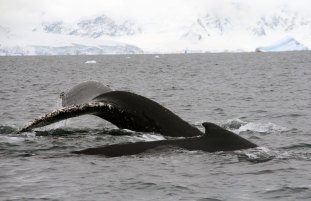 Humpback whale - Photo credit: Catie Foley