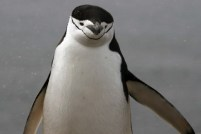 Chinstrap penguin - Photo Credit: Catie Foley