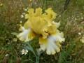 Gold iris May 13 (3) - Copy