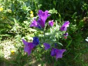 Wild flowers May 13 (8) - Copy