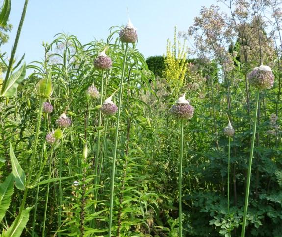 Great Dixter - Allium hats