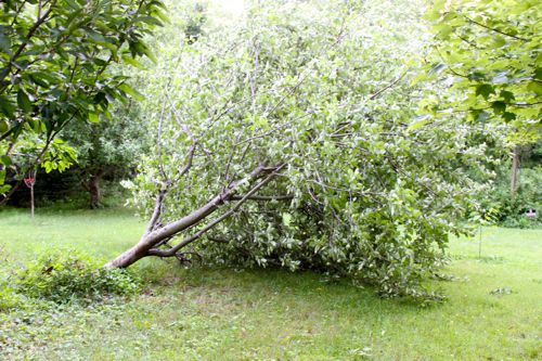 Apple tree blown over