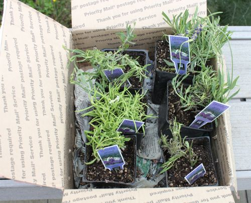 Box of new lavender