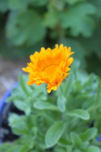 Calendula in the garden