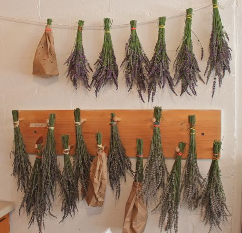 Some of the lavender hanging to dry