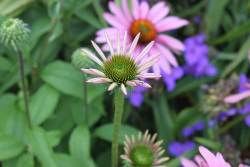another coneflower opening