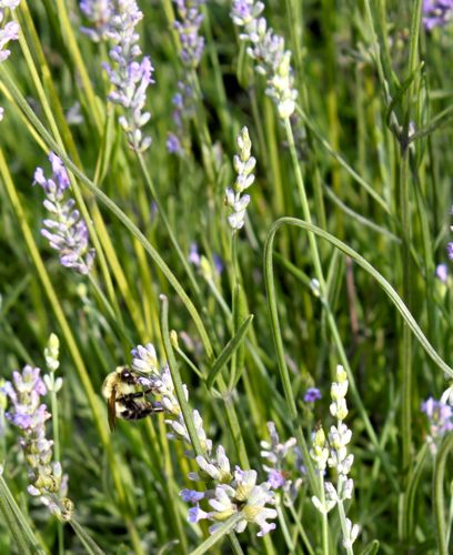 Lots of bumblebees on our lavender
