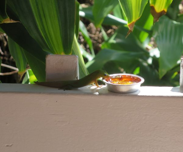 gecko at coffee shack