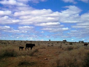 Arizona_CattleandSkyHorizontal