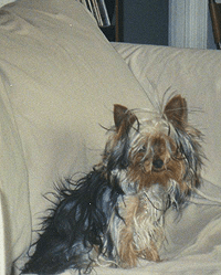 Bad hair day is cute on my yorkie, lynettemburrows.com