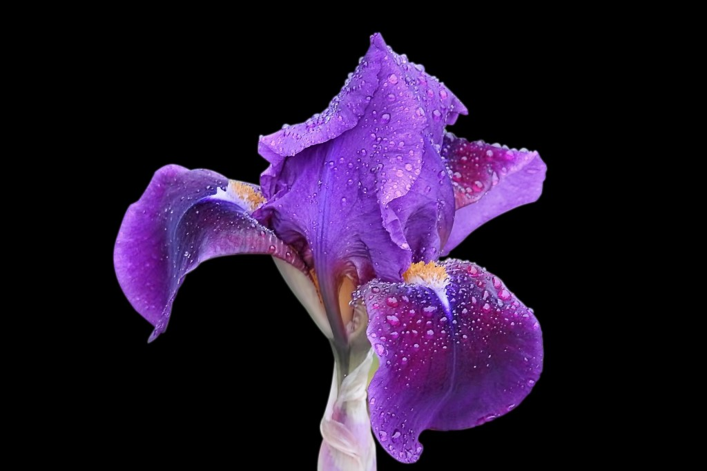 A purple iris, the flower of hope and one more reminder to hang onto hope when it's impossible. Read on for ways to help you practice hope.