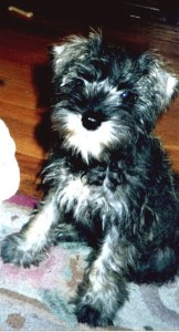 Image of my Miniature Schnauzer puppy, Nemo  whom I'm furever in love