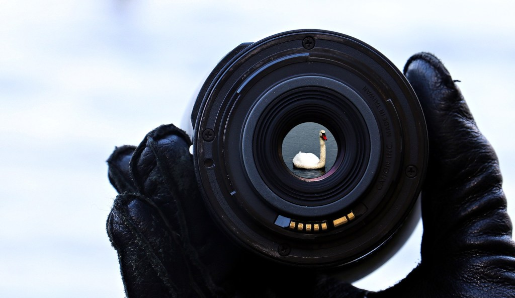Image of a camera lens through which you can see a perfectly focused swan swimming--I'm done eating turkey and I sure want eat swan but I'm swimming to catch up