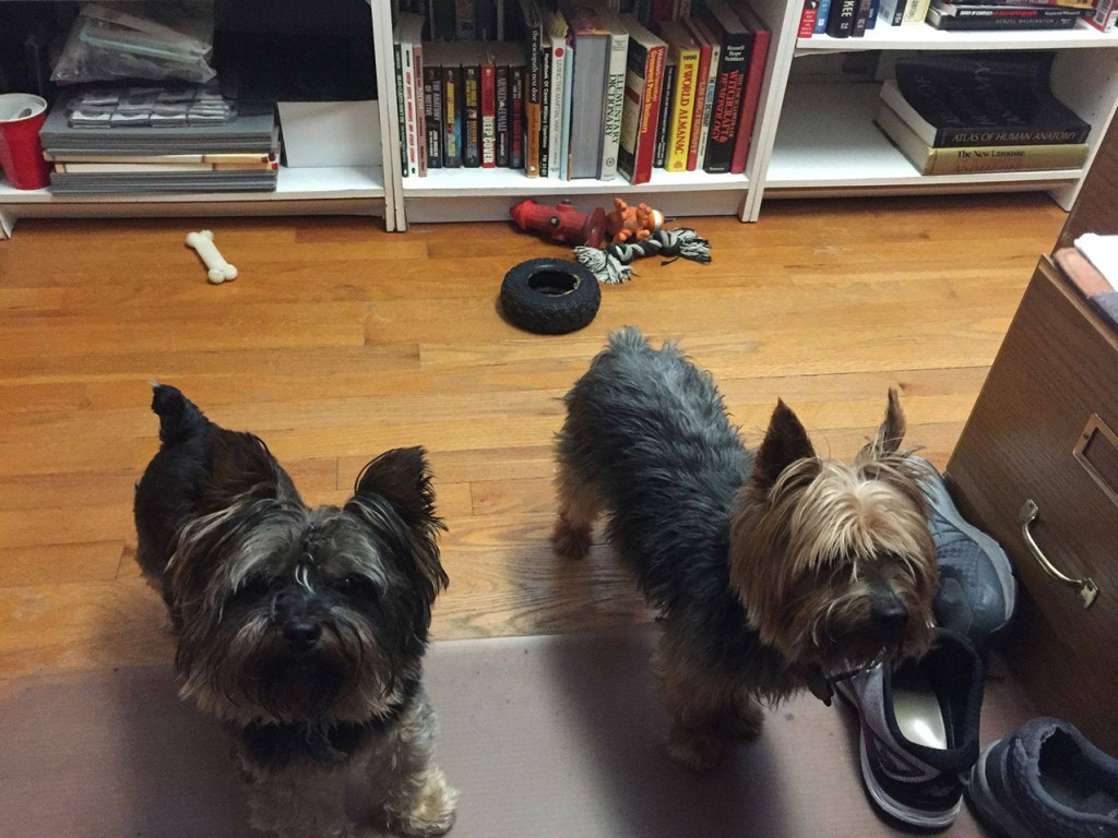 Photograph of two yorkshire terriers in Lynette's office, inspiring her work. authors share As to  reader Qs
