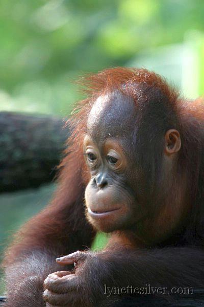 Baby orange utan, Sepilok Rehabilitation Centre