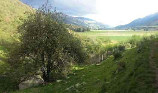 An ancient apple tree, grows alone in a farm gully.