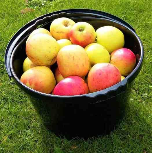 Black bucket full of heritage cooking apples.
