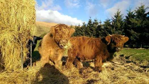 Highland cattle eating hay