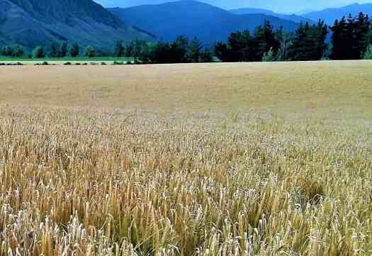 Paddock of ripe barley during the lockdown harvest month.