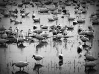DSCN1640 Beaudette geese