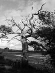 Lawrenny tree