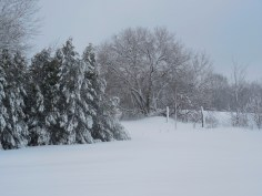 snow and evergreens and tree