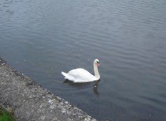 swan at Carew Castle Wales