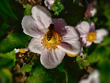 anemone flower and bee