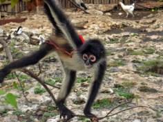 Spider Monkey, Mexico