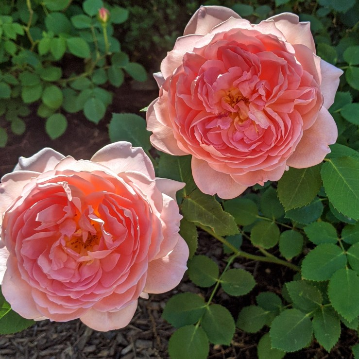 Carding Mill English Roses in bloom