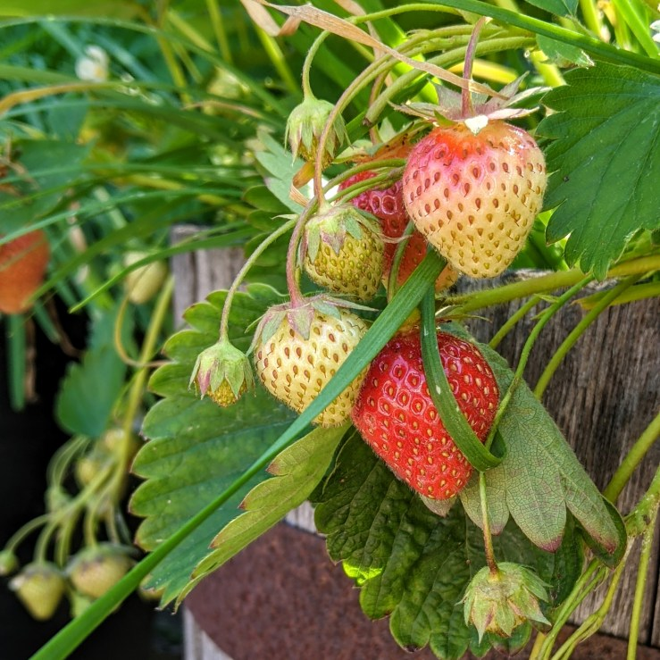 Strawberries ripening in a barrel in the Lawrence Barkman Vegetable Garden