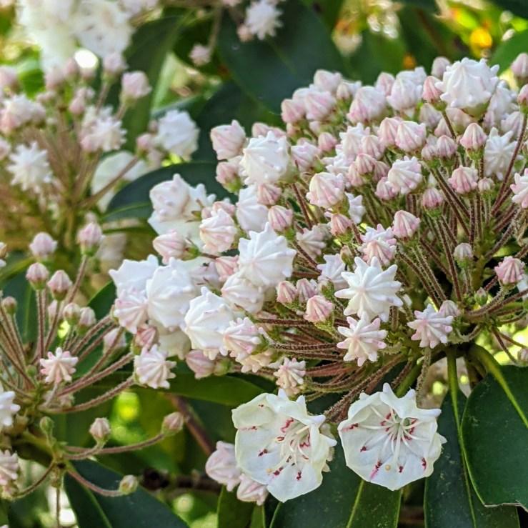 Mountain Laurel in bloom