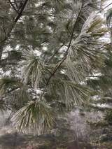 Frosty pine boughs.